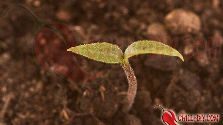 Chilianbau zu Hause – ganz einfach!