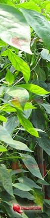 Chilipflanzen Info Banner Chilidatenbank