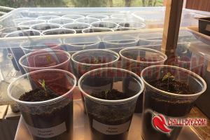 Chilipflanzen nach Pikiren
