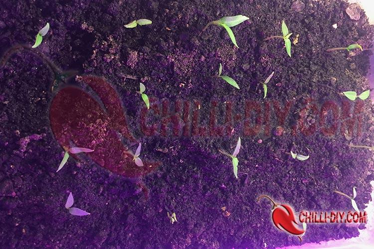 Chilikeimlinge in Anzuchtbox Bild