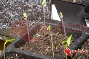 Indigo Rose Tomaten Bild1