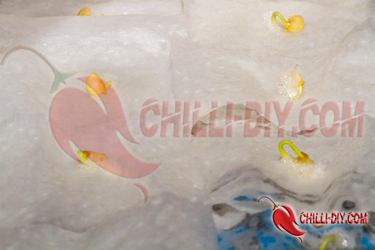Chilikeimtest 2017 Bild 1