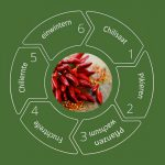 Chilipflanzen Life Cycle