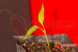 Jalapeno Early Chilikeim mit Blattwuchs