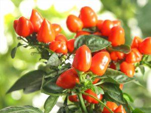 Chilipflanze mit Frucht