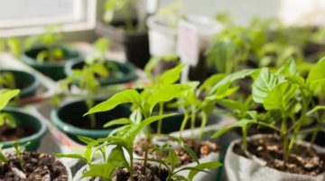 Chili Jungpflanzen