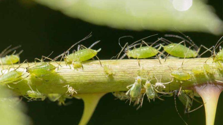 Blattläuse loswerden